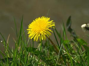 taraxacum_officinale_aggregata_species_dandelion_flower_side_view_12-04-10_1